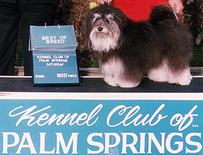 Havanese Show Dogs Arizona