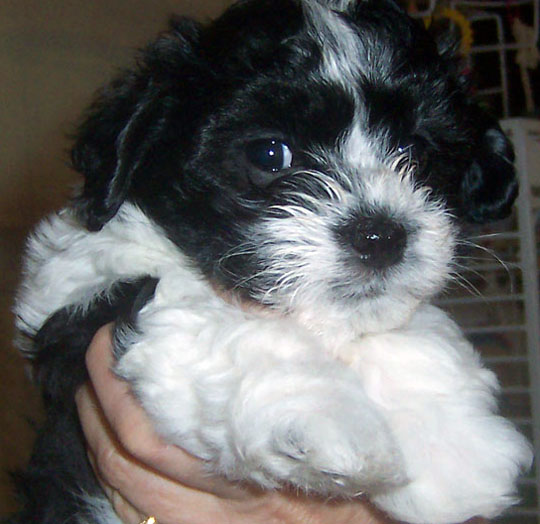 Pictures Havanese Puppies Photography Havanese Puppy Arizona