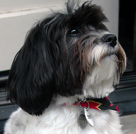 The Gallery For Gt Black And White Havanese Full Grown