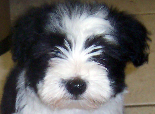 pictures havanese puppies photography havanese puppy
