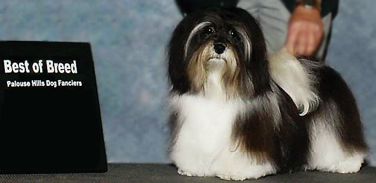 Havanese Champion Sired Puppies