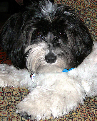 Quality Havanese For Sale