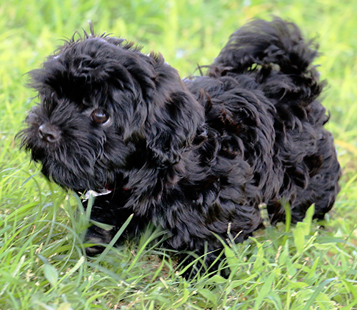 Havanese Puppies For Sale Arizona California R Gang